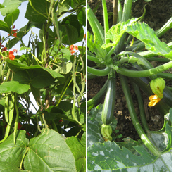 Runner beans and courgettes growing by the bucketful!