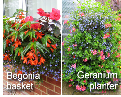 Andrew Tokely's begonia basket and 3-tiered geranium planter
