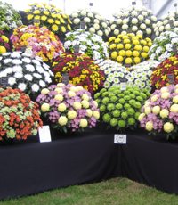 Hampton Court Palace Flower Show 2012 - Chrysanthemum display