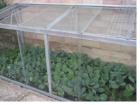 Brassicas in the cold frame