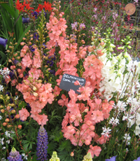 Hampton Court Palace Flower Show 2012 - Delphinium 'Coral Sunset'