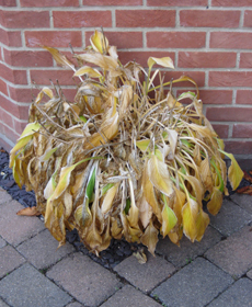 Hostas dying back, ready to be tidied up