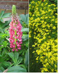 Lupin in its 2nd flush and tagetes 'Lemon Gem'