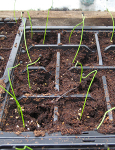Andrew's onions, pricked out in the greenhouse
