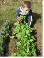 Andrew's son pulling radishes