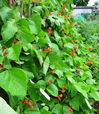 Andrew Tokely's runner beans in flower