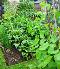 Andrew Tokely's veg plot in July 2012