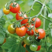 Tomato Losetto - Vegetable of the Year 2011