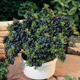 Best fruit for a container - Blueberry Top Hat