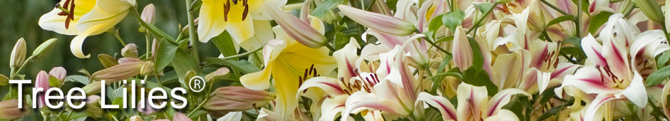 Grow Your Own Tree Lilies®