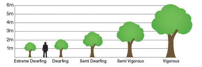 tree rootstock heights