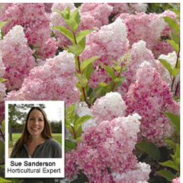 Hydrangea 'Vanilla Fraise' - Recommended by Sue Sanderson, eCommerce Horticultural Executive