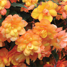 Garden Ready Plants including Begonia Apricot Shades