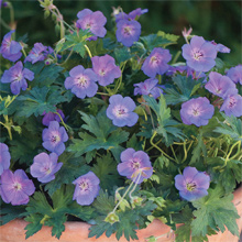 Geranium 'Rozanne' from only £6.99