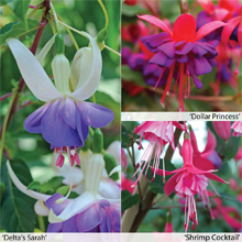 Fuchsia Hardy Collection from only £2.99