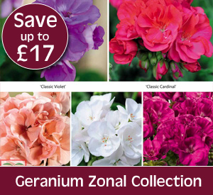 Zonal Geranium Collection - save up to £17.97