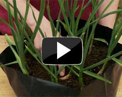 how to grow garlic in pots video