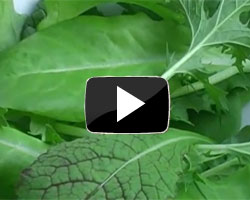 How to Grow Salad Leaves Video
