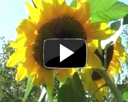 How to Grow Sunflowers Video