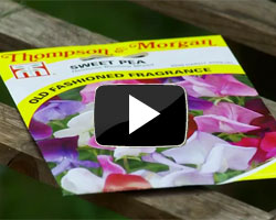 How to sow and grow sweet peas video