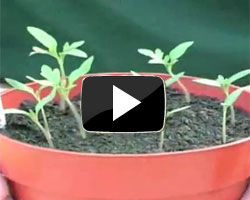 How to sow tomato seeds video