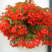 Andrew's Trial Ground Favourite - Begonia Inferno