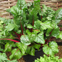 Dan's Trial Ground Favourite - Chard