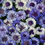 Michael's Resolution - Cornflower