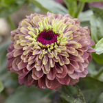 Clare's Resolution - Zinnia