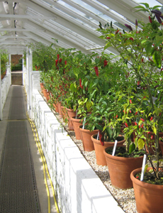 West Dean Chilli Pepper Glasshouse
